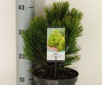 Bosnische den (Pinus heldreichii 'Compact Gem')