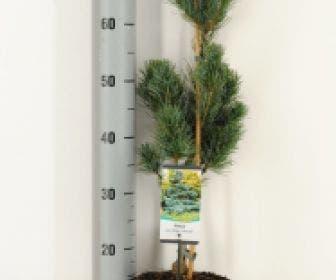 Blauwe Japanse witte den (Pinus parviflora 'Glauca')