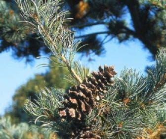 Bergden (Pinus strobus 'Radiata')