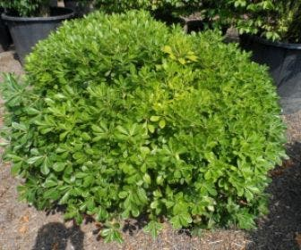 Australische laurier (Pittosporum tobira 'Nanum')
