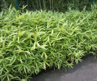 Bamboe (Pleioblastus  pumilus)