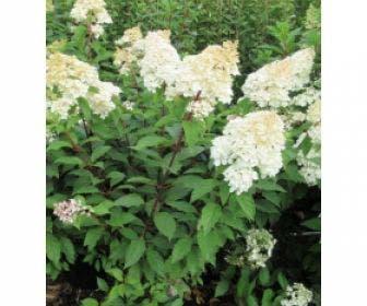 Pluimhortensia (Hydrangea paniculata 'Bobo')