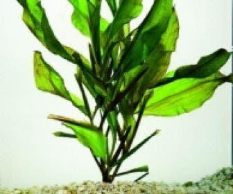 Glanzend fonteinkruid (Potamogeton lucens)