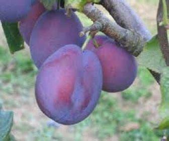 Pruimenboom (Prunus domestica 'Belle de Louvain')