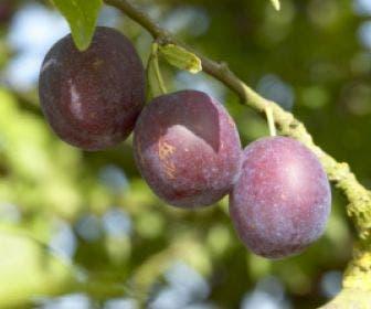 Pruimenboom (Prunus domestica 'Anna Spath')