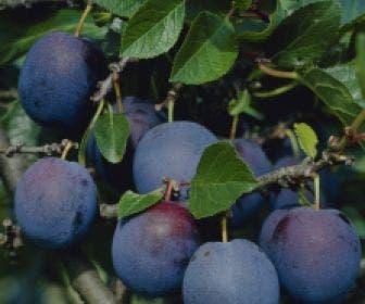 Pruimenboom (Prunus domestica 'Bleu de Belgique')