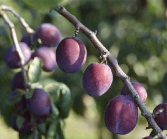 Pruimenboom (Prunus domestica 'Reine Claude d'Althan')