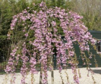Japanse treursierkers (Prunus serrulata 'Kiku-shidare')