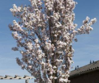Japanse sierkers als zuilboom (Prunus serrulata 'Amanogawa')