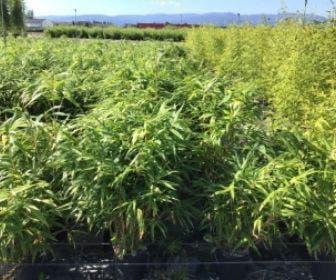 Bamboe (Pseudosasa japonica)