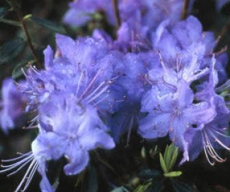 Dwergrhododendron (Rhododendron 'Blue Tit Magor')