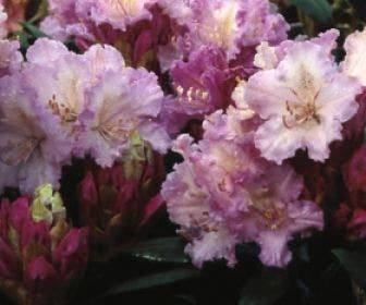 Dwergrhododendron (Rhododendron 'Caroline Allbrook')