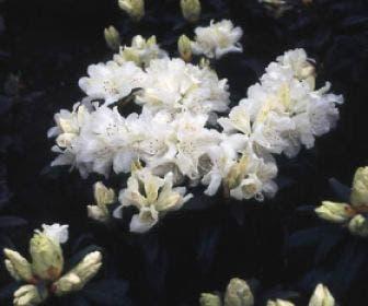 Dwergrhododendron (Rhododendron 'Dora Amateis')