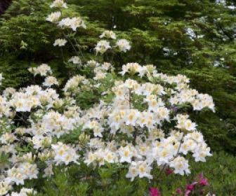 Azalea (Rhododendron 'Mollis' wit)