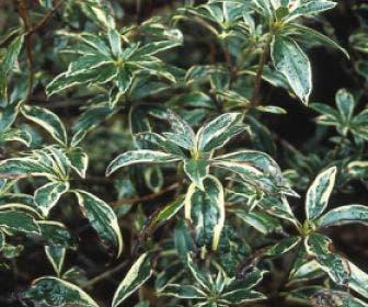 Bosrhododendron (Rhododendron ponticum 'Variegatum'    )