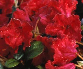Dwergrhododendron  (Rhododendron 'Scarlet Wonder')