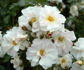 Bodembedekkende roos (Rosa 'Diamant')