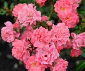 Bodembedekkende roos (Rosa 'Fairy Princess')