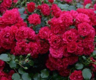 Bodembedekkende roos (Rosa 'Gartnerfreude')