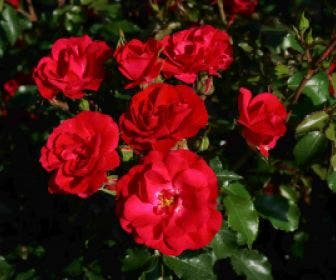 Bodembedekkende roos (Rosa 'Rotilia')