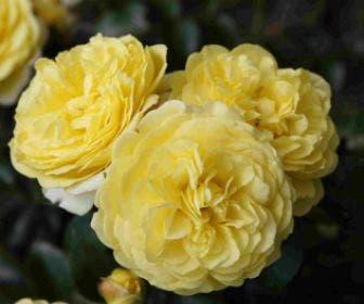 Bodembedekkende roos (Rosa 'Solero')