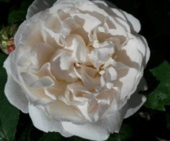 Engelse Roos (Rosa 'Winchester Cathedrale')