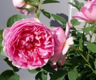 Engelse Roos (Rosa 'Boscobel')