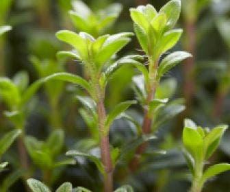 Bonenkruid (Satureja montana)