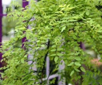 Honingboom (Sophora japonica 'Pendula')