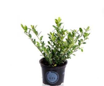Japanse Hulst (Ilex crenata 'Dark Green')