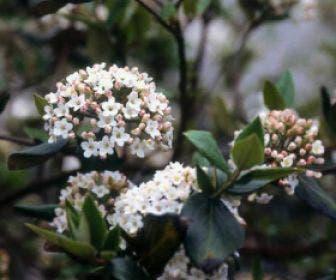 Sneeuwbal (Viburnum burkwoodii)