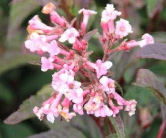 Sneeuwbal (Viburnum bodnantense 'Dawn')