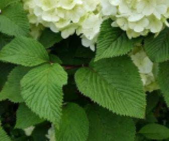 Japanse sneeuwbal (Viburnum plicatum 'Rotundifolium')