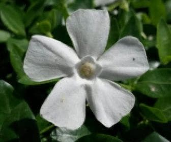 Kleine maagdenpalm (Vinca minor 'Gertrude Jekyll')