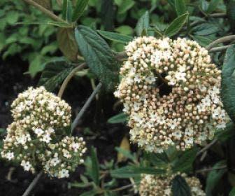 Sneeuwbal (Viburnum 'Pragense')