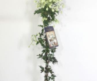 Groenblijvende Clematis (Clematis 'White Abundance')