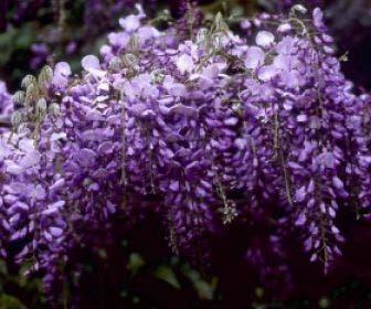 Blauwe regen (Wisteria sinensis 'Prolific')