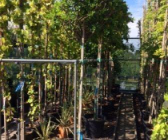 Blauwe regen als boom (Wisteria sinensis 'Alba')