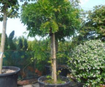 Blauwe regen als boom (Wisteria floribunda 'Rosea')