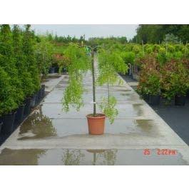 Honingboom Op Stam Sophora Japonica Pendula Directplant