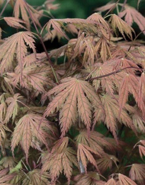 Japanse Esdoorn (Acer palmatum 'Ariadne')
