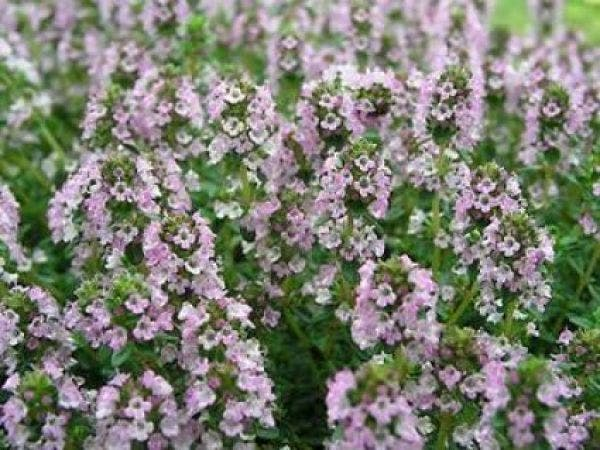 Thymus citriodorus (Citroentijm)