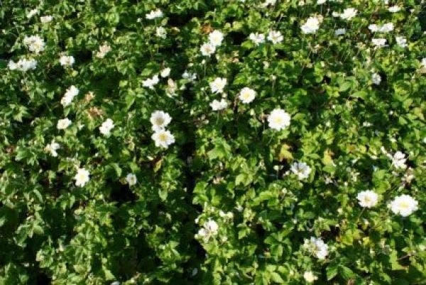 Anemone 'Whirlwind' (Anemoon)