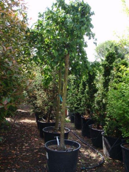 Kronkelhazelaar als boom (Corylus avellana 'Contorta')