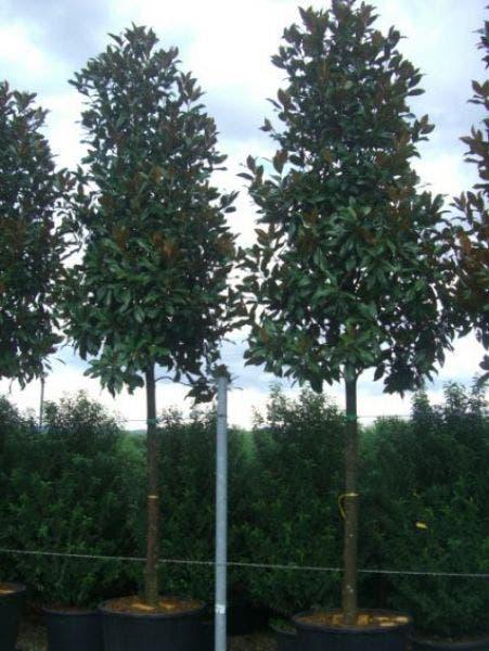 Boom Magnolia grandiflora 'Galissoniere'