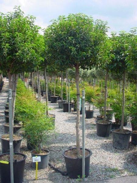 Potugese laurier op stam (Prunus lusitanica 'Angustifolia')