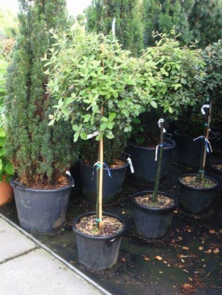 Quercus ilex op 80 cm stam