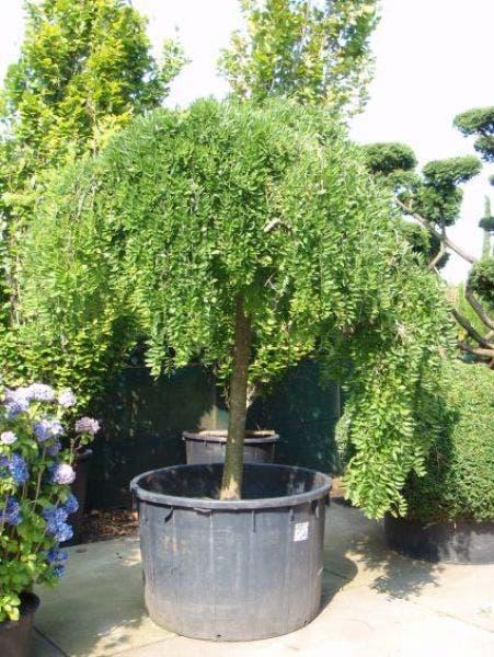 Honingboom Sophora Japonica Pendula Directplant