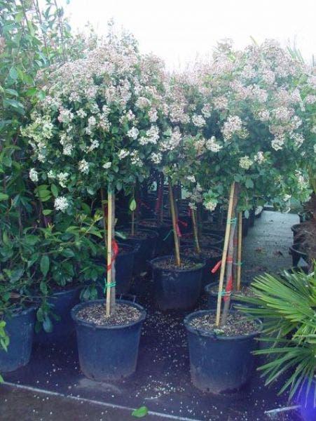 Sneeuwbal op stam (Viburnum tinus 'Eve Price')