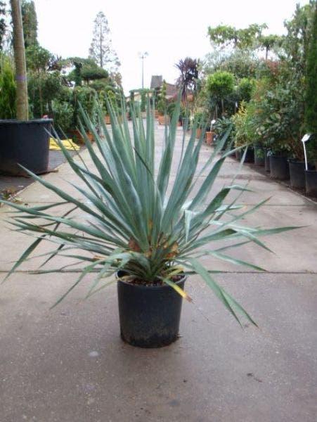 Palmlelie (Yucca gloriosa)